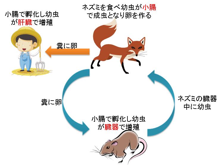 エキノコックス症:北海道でキタ...